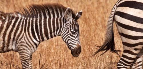 zebra schilderij