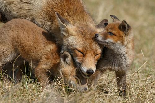 Dieren schilderij vossen